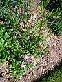Aster foliaceus var. parryi 2007-06-02 (plant).jpg