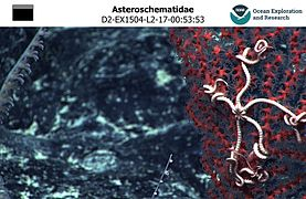 Asteroschematidae Hawaii 01