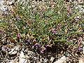 Astragalus oophorus var clokeyanus 5.jpg