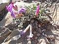 Astragalus purshii glareosus (3753461033).jpg