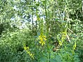 Atlas roslin pl Nostrzyk żółty 226 7400.jpg
