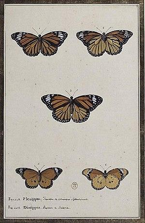Claude Aubriet - Two butterflies, by Claude Aubriet