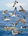 Audubons Shearwater From The Crossley ID Guide Eastern Birds.jpg