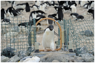 Data collection - Example of data collection in the biological sciences: Adélie penguins are identified and weighed each time they cross the automated weighbridge on their way to or from the sea.