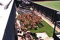Avocado Tree AT^T Park - panoramio.jpg