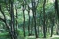 Bøgeskov - beech wood - panoramio.jpg