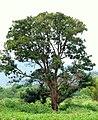 Búcaro - Písamo (Erythrina fusca) - Flickr - Alejandro Bayer (6).jpg
