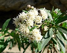 Baccharis salicifolia 1.jpg