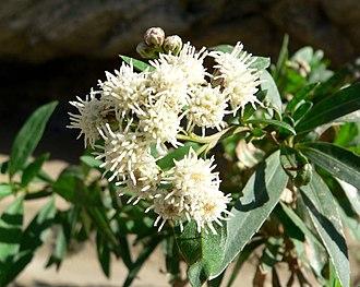 Baccharis salicifolia - Image: Baccharis salicifolia 1