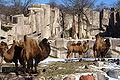 Bactrian Camels b d.jpg