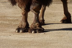 Bactrian camel - Detail of feet
