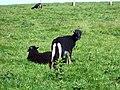 Badger-face ewe and lamb - geograph.org.uk - 842710.jpg