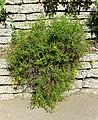 Bahiopsis laciniata - Mildred E. Mathias Botanical Garden - University of California, Los Angeles - DSC02981.jpg
