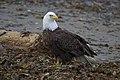 Bald Eagle (Haliaeetus leucocephalus)4e.jpg