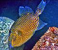 Balistidae - Pseudobalistes fuscus.jpg