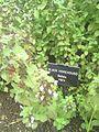 Ballota Nigra in Hardwick Hall garden 2012.jpg