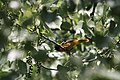 Baltimore Oriole - panoramio.jpg
