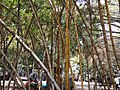 Bamboo Trees in Empress Botanical Garden Pune.jpg