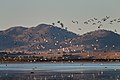 Banded Stilts and Red-necked Avocets (25202179329).jpg