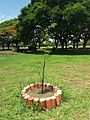 Baobá na EAPE, 907 Sul, em Brasília.jpg