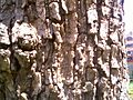 Bark of Anthocephalus kadamba.jpg