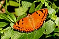 Baronet Euthalia nais UP by Dr. Raju Kasambe DSCN9440 (1).jpg