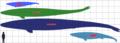 Basilosaurid sizes.png