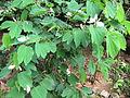 Bauhinia Acuminata - വെള്ളമന്ദാരം 01.JPG