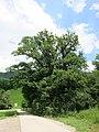 Baum Lienz 3.jpg