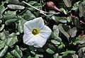 Beach morning-glory (Ipomoea imperati) 09.jpg