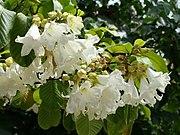 Beaumontia grandiflora1SHSU.jpg