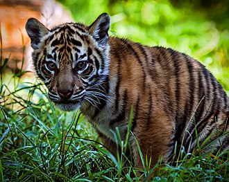 Sumatran tiger - Sumatran tiger cub at the Chester Zoo