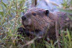 Beaver-Szmurlo.jpg
