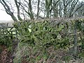 Beech hedging - geograph.org.uk - 679226.jpg