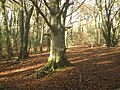 Beech wood - geograph.org.uk - 667692.jpg