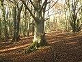 Beech wood - geograph.org.uk - 667692.jpg