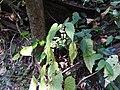 Begonia malabarica-1-mundanthurai-tirunelveli-India.jpg