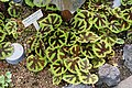 Begonia masoniana - Shinjuku Gyo-en Greenhouse - Tokyo, Japan - DSC05879.jpg