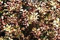 Berberis thunbergii Bonanza Gold 3zz.jpg