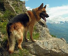 220px berger allemand en german shepherd 220x180