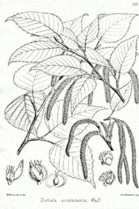 Betula alnoides Bra56