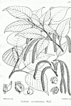 Betula alnoides Bra56.png