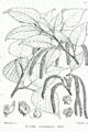 Betula alnoides Bra56.png