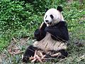 Bifengxia panda.jpg