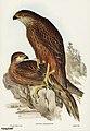 Bird illustration by Elizabeth Gould for Birds of Australia, digitally enhanced from rawpixel's own facsimile book16.jpg