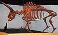 Bison latifrons fossil buffalo (Pleistocene; North America) 4 (15444089002).jpg