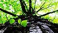 BlätterDurchRinde.jpg