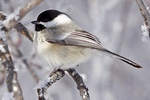 Black-Capped Chickadee (15290761526)