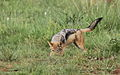 Black-backed jackal, Canis mesomelas, a young one playing with a root as a puppy plays with a ball at Rietvlei Nature Reserve, Gauteng, South Africa (16035574601).jpg