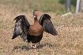 Black-bellied whistling duck display, behind venice bird rookery (33483890031).jpg